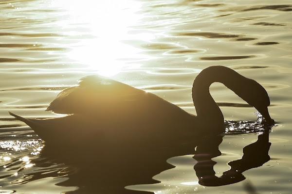 Il cigno nero di acquario