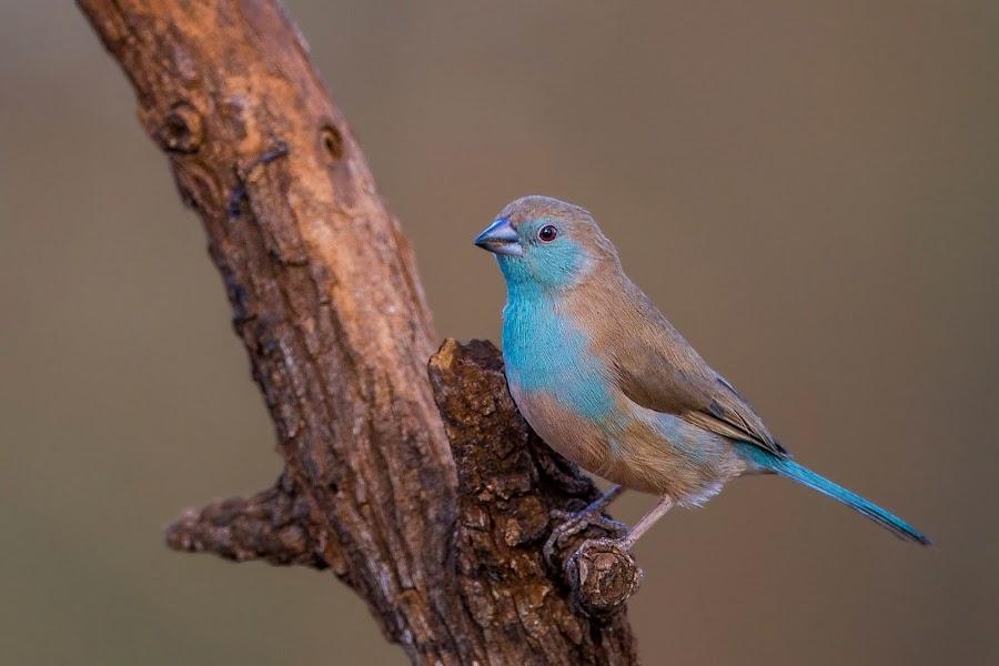 Riebelton Blue Waxbill by Jan Saunders - Animals Birds