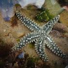 Estrela-do-mar-de-espinhos
