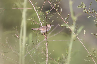 Photo: Rattling Cisticola