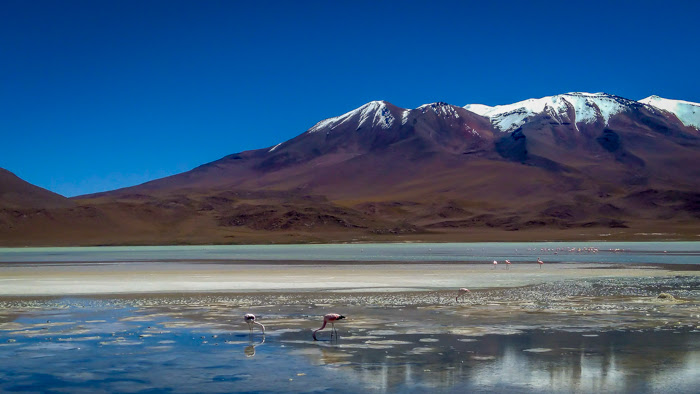 a flamingo is eating in the atacama desert on my bolivia travel