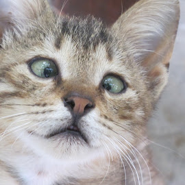 Cross-eyed kitten by Vicki Clemerson - Animals - Cats Kittens ( cross-eyed, kitten, cross-eyed kitten, head, portrait,  )