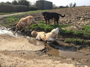 Photo: This is Barnaby's puddle. Runs up and lies in it every time we do this walk. Mum Louise has the patience of a saint... it would drive me nuts if I had to shampoo him after every walk!