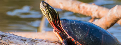 Painted Turtle (Chrysemys picta), Painted Turtle sitting on a trunk enjoying the last sunbeams at sunset in Park Angrignon., Park Angrignon, Montreal, 2015/09/06
