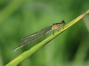 Photo: 12 Aug 13 Priorslee Lake: Although the legs looked rather pale detailed examination of this photos suggests 'just' a female Blue-tailed Damselfly rather than the hoped-for White-legged Damselfly. (Ed Wilson)