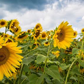 Field of Sunflowers by Heather Campbell - Flowers Flower Gardens ( sunflowers, summer, yellow, flowers, garden,  )
