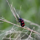 Orange Blister Beetle