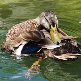 Just Duckin Around by Alycia Marshall-Steen - Animals Birds ( feathered friends, duck water, duck photography, duck, duck pruning,  )