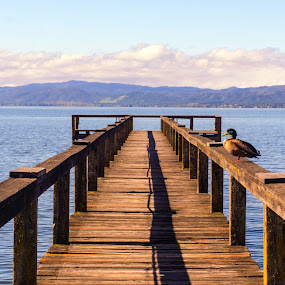 Duck on a Dock by Sharon Leckbee - Landscapes Waterscapes ( water, duck, dock,  )