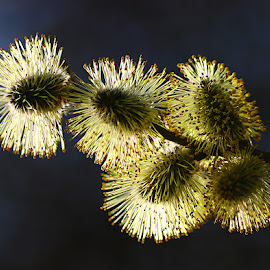 Sunlit Catkins by Chrissie Barrow - Nature Up Close Other Natural Objects ( macro, sunlight, catkins, flowering, backlit )