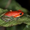 Granular Poison Frog