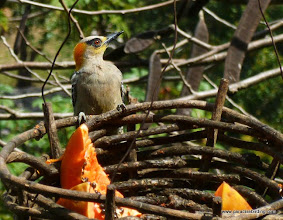 Photo: Golden-cheeked Woodpecker, Vallarta Botanical Gardens