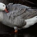 Snow Goose / Canada Goose hybrid