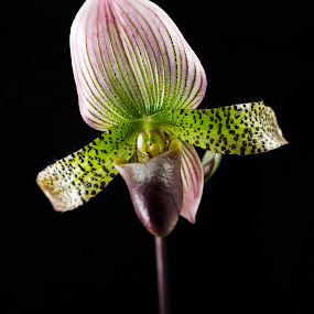Paphiopedilum Ametrine by Jason Weigner - Nature Up Close Gardens & Produce ( ruby mist, plant, paphiopedilum, nature, orchid, orchids, candy, apple, ametrine, bud, flower,  )