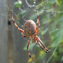 Western Spotted Orb Weaver