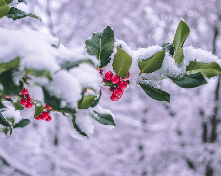 Winter Leafs by Paul Voie - Nature Up Close Trees & Bushes ( red, green, fruits, nature, snow, winter,  )