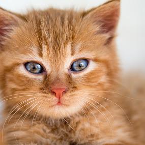 Red Kitten by Crazy  Photos - Animals - Cats Kittens ( orange, cat, kitten, red, tiger, pet, baby, eyes, animal )
