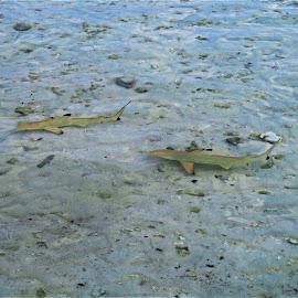 by Phil Bear - Animals Fish ( reef, ocean, fish, sharks, maldives )