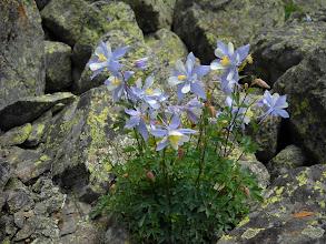 Photo: Colorado state flower. Any wonder?