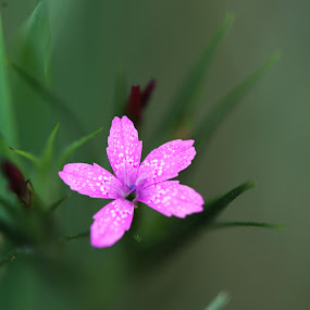 Tiny pink by Lee Chase - Flowers Single Flower ( pink flower macro nature solitary )