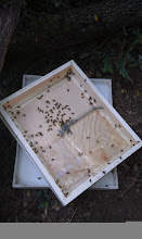 Photo: baggie feeder still quite full--they are preferring our strong nectar flow
