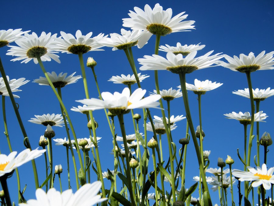 Pushing Up Daisies by Elaine Erwin-Babcock - Nature Up Close Flowers - 2011-2013 ( sky, blue, floweres, daisy, perspective, stems, upside )