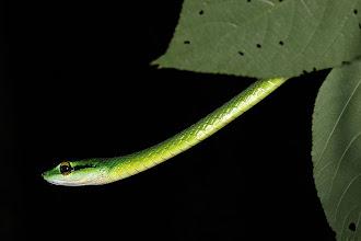 Photo: 22 Leptophis ahaetuella, Corcovado (08°27´/-83°29´), 25.06.2008, Author & det. Erwin Holzer