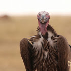 Lappet-faced vulture or Nubian vulture
