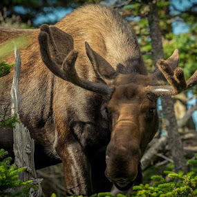 by Mario Guay - Animals Other Mammals