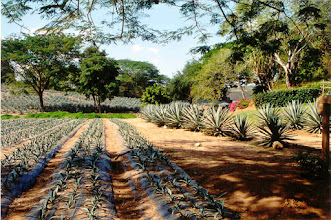 Photo: Trip to a Tequila distillery - this is an agave field.