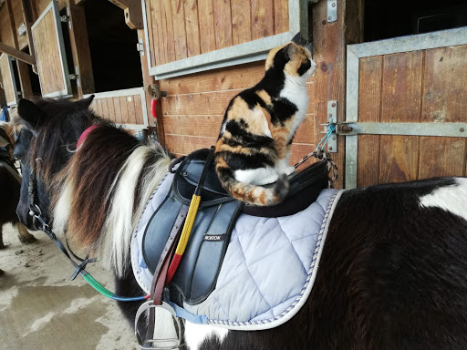 Chat sur poney