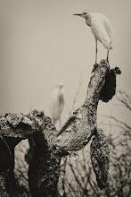 Photo: Cattle Egret (Kuhreiher); San Miguel de Allende, GTO