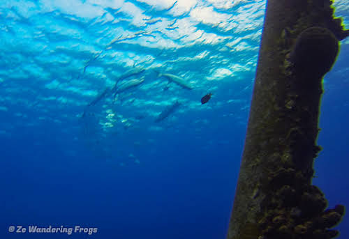 Bonaire Dive Sites // Tarpons