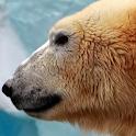 polar bear wallpaper icon
