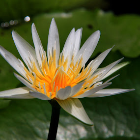 Water Lily by Ridzwan Mohd Nor - Nature Up Close Flowers - 2011-2013 ( nature, flora, flowers, water lily )