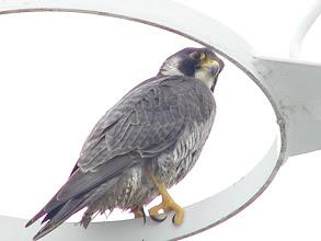 Photo: Peregrine Falcon in the Rigging