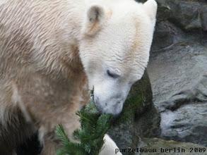 Photo: Knut beschaeftigt sich mit dem Tannenzweig :-)