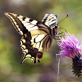Butterfly by Ahmet AYDIN - Animals Insects & Spiders ( butterfly, turkey,  )