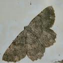 Gnophos moth