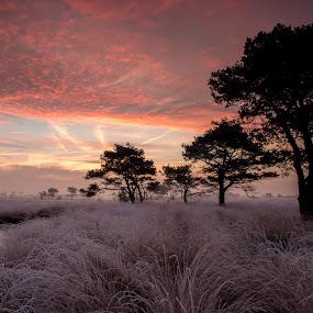 Kalmthoutse heide by Twan Konings - Landscapes Sunsets & Sunrises ( water, red, rijp, heide, nature, grass, ice, trees, pink, belgium, night, sunrise, mist )