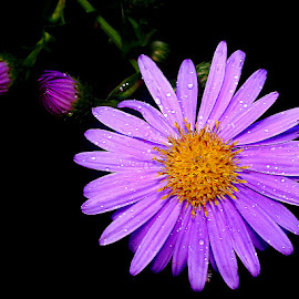 Aster n00051 by Gérard CHATENET - Flowers Single Flower