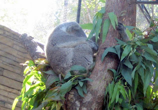 Photo: First stop: the Koala house, but we quickly learn they are nocturnal and this is mid-day!   Koala naps seem so cozy -- these may be the consumate tree huggers.