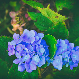 Blue Bang by Supriya Samanta - Flowers Flower Buds ( floral, flower photography, flowers, flower bud, flower macro, floral photography, flower up close, flower garden, flower, flower nature )