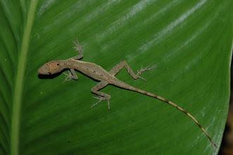 Photo: Norops limifrons 1, Esquinas Rainforest (8:42/-83:12), 18-05-2006, Author: Erwin Holzer, det. Gerardo Chaves