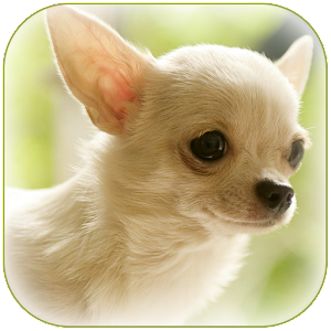 Chihuahua wallpaper android apps on google play chihuahua wallpaper voltagebd Images