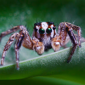 Green by Trisviadi Effendi - Animals Insects & Spiders ( macro, jumping spider, spider, close up )
