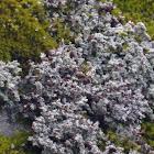 Snow Lichen