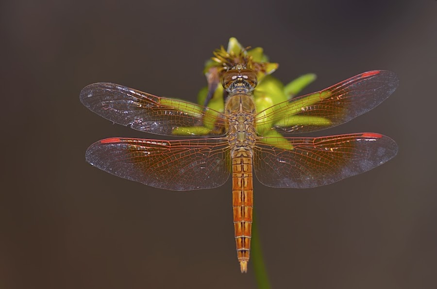 Dragonfly by Sunny Joseph - Animals Insects & Spiders (  )