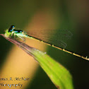 Fragile Forktail Damselfly