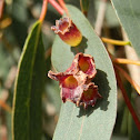 Eucalyptus Leaf Galls